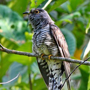 Cuckoo for ID (Indian vs Oriental)