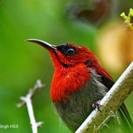 Crimson Sunbird – song and calls