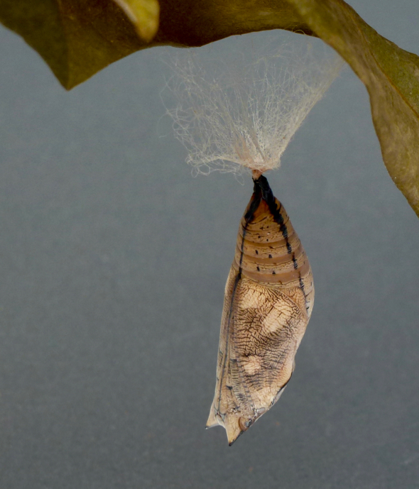 Autumn Leaf butterfly: 4. Caterpillar laying silk prior to pupating