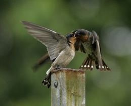 Pacific Swallow feeding fledgling