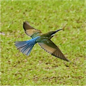 Blue-tailed Bee-eater ringed on the wing