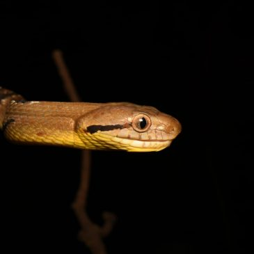 Dogtooth Cat Snake