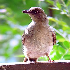 © Go Insectivore With Wild Birds at Sepilok - N. Borneo