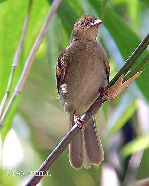 © Go Insectivore With Wild Birds at Sepilok – N. Borneo