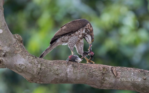 Crested Goshawk eating Javan Myna (Photo credit: Derrick Cheong)
