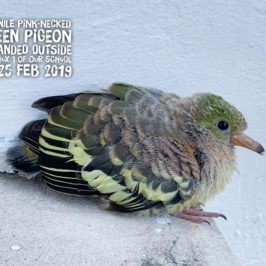 Pink-necked Green-pigeon fledgling rescued by student of Commonwealth Secondary School, Singapore