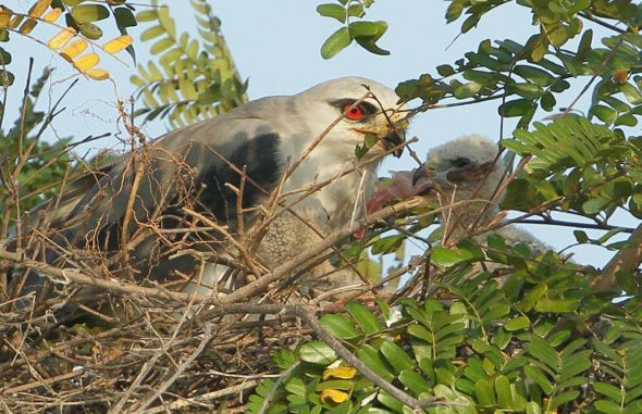 Pellets from Tuas: 6. Nesting of Black-shouldered Kites