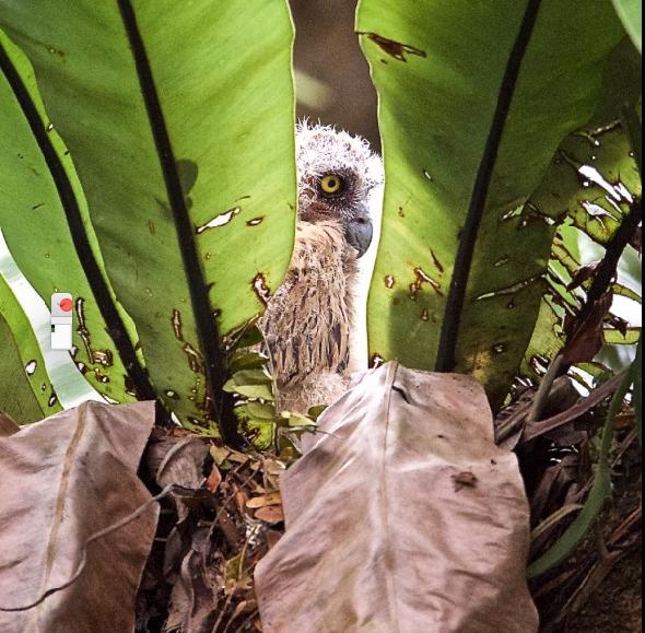 FishOwlB-nesting [GenoOehlers]
