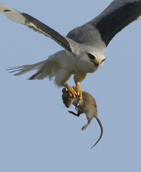 Pellets from Tuas: 7. Black-shouldered Kite hunting mice