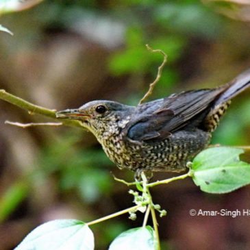 Blue Rock-thrush – juveniles