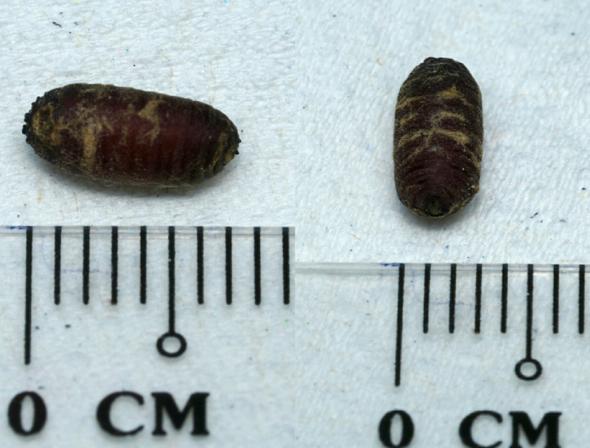 8 Death'sHeadHMoth-cat-parasite-pupa [JaniceAng]