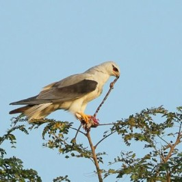 Pellets from Tuas: 9. Black-shouldered Kite removing entrails from mice