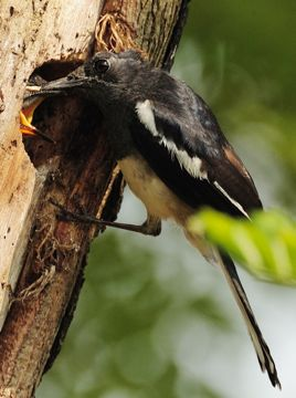 <strong>Nesting habits of the Oriental Magpie Robin</strong>