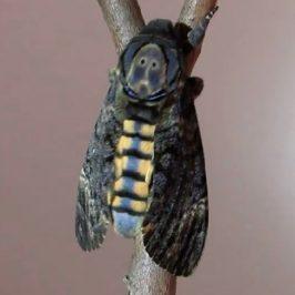 Death's Head Hawk Moth (Acherontia styx medusa) flashing