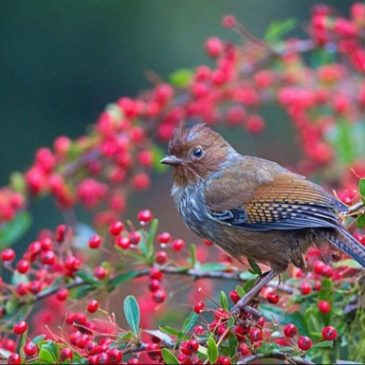 Birds and the Broad-leafed Firethorn of Taiwan