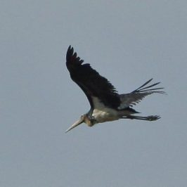 Sighting of Lesser Adjutant