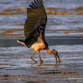 Lesser Adjutant fishing