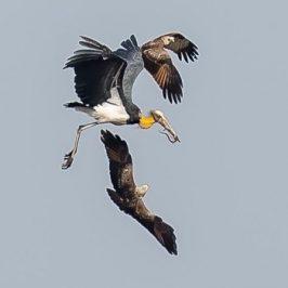 Kleptoparasitism among juvenile Brahminy Kites