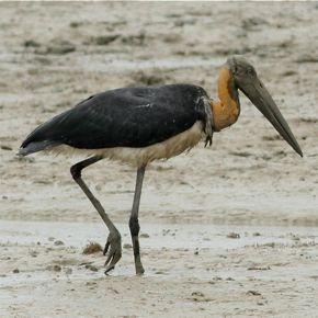 Lesser Adjutant feeding in the mud