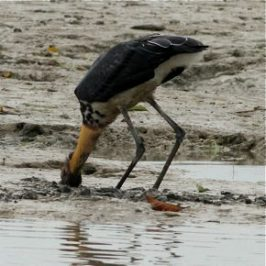 Lesser Adjutant feeding in the mud