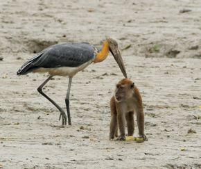 Lesser Adjutant co-existing with Long-tailed Macaques
