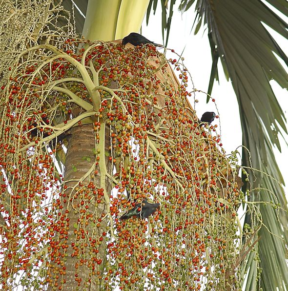 Asian Glossy Starlings feasting on Alexandra Palm fruits