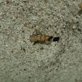 How an Antlion larva traps an ant