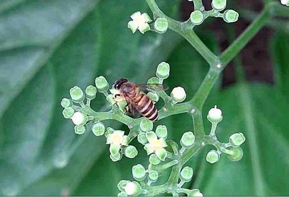 Apis cerana-Cayratia fl 2