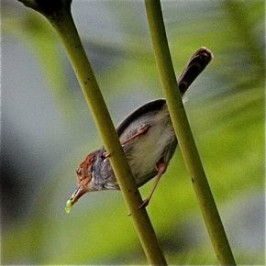 Call of the Ashy Tailorbird