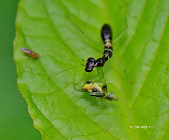 Asian Ant Mantis-Odontomantis planiceps-
