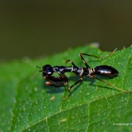 Myrmecomorphy (Ant Mimicry) by a Praying Mantis