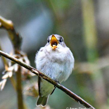 Asian Brown Flycatcher regurgitating a pellet