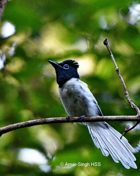 Asian Paradise-flycatcher-1a-Kubah National Park, Sarawak, Borneo, Malaysia-12th September 2017