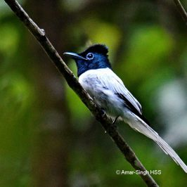 Asian Paradise-flycatcher – Calls