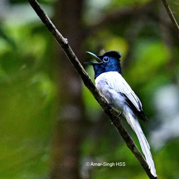 Asian Paradise-flycatcher and its call