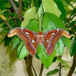 Are Atlas moths popular with birds?