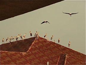 Proliferation of storks around Kuala Lumpur, Malaysia