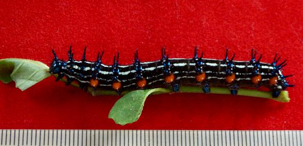 Autumn Leaf butterfly: 1. Caterpillars feeding