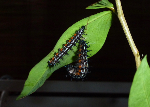 Autumn Leaf butterfly: 2. Caterpillar pupating