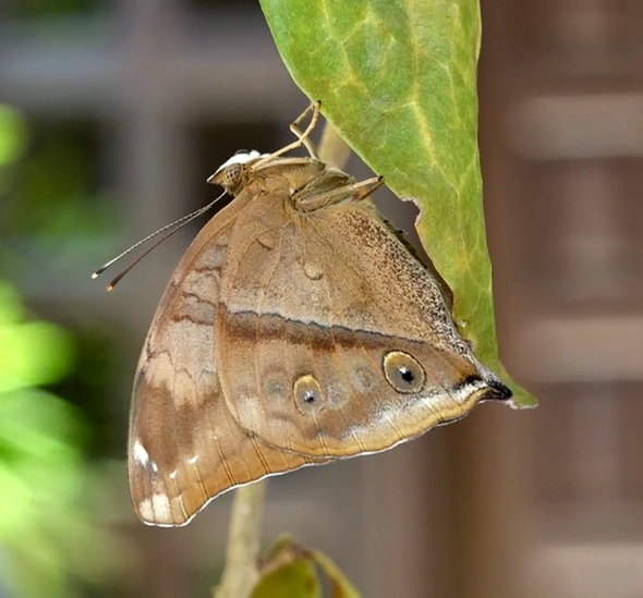 Autumn Leaf butterfly: 3. Eclosion