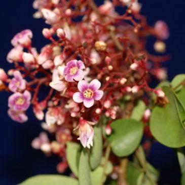 Tanimbar Corella in a Starfruit Tree