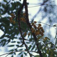 Plant-Bird Relationship: 8. Meliaceae