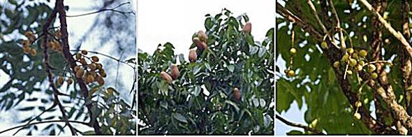l-r: Azdirachta indica,Swietenia macrophylla nd Lansium domesticum