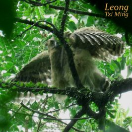 BUFFY FISH-OWL – WET CHICK