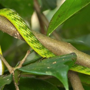 Bigeye Green Whip Snake with a Malesian Frog meal