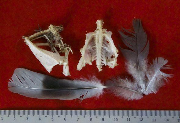 Black-shouldered Kite eats a Javan Myna