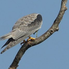 Black-shouldered Kite regurgitation or vomiting?
