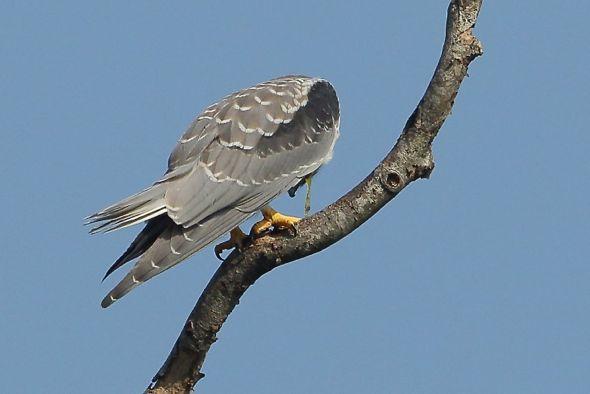 Black-shouldered Kite regurgitation or vomiting?