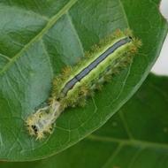 BSNettleGrub-pupal casse