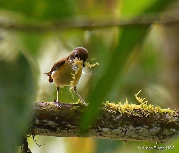 Buff-breasted Babbler - nesting